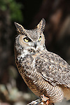 FB-S159  Back small photo for 4x6 postcard.   Crop out bottom of photo.  Great Horned Owl