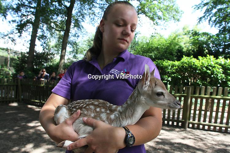 Foto: VidiPhoto..RHENEN - In Ouwehands Dierenpark in Rhenen is vrijdag een pasgeboren damhertje gechipt. Het is de eerste geboorte van -naar verwachting- zes bambi's die binnen nu en een ongeveer week geboren zullen worden. Een heuse geboortegolf bij de damhertenroedel dus. Zes hindes zijn zwanger..