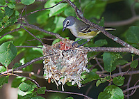 Blue-headed Vireo, Vireo solitarius, adult at nest, June (Michigan)
