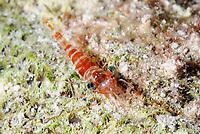 Red Night shrimp, Cinetorhynchus manningi, Caribbean Netherlands, Caribbean
