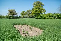 Sky Lark plots in winter barley - Norfolk, May