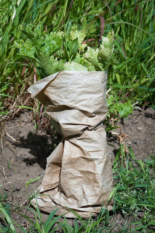 Trench celery wrapped in home-made collars of brown paper in order to blanch the stems and keep them white, early August.
