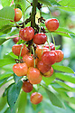 Cherry 'Centennial', mid July. An American dessert cherry, originally from California.