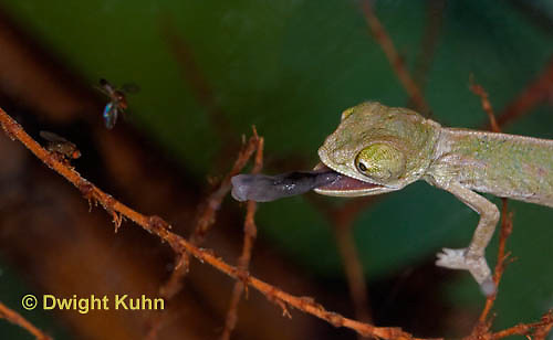 CH47-661z  Veiled Chameleon several week old young tongue flicking to catch prey, Chamaeleo calyptratus