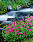 Mount Rainier National Park, WA:  Pink monkey-flower (Mimulus lewisii) along the flowing waters of Paradise River