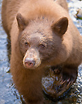 Black bears fish for kokanee salmon at Taylor Creek nature area on the south shore of Lake Tahoe