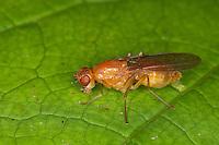 Nacktfliege, Psila cf. fimetaria, Nacktfliegen, Psilidae, rust flies