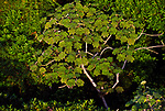 Cecropias are known for their large, lobed leaves, Bocas del Toro, Panama