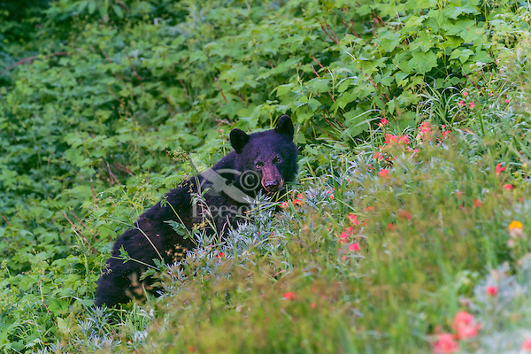 Black Bear (Ursus americanus) among subalpine wildflowers (mostly paintbrush). Pacific Northwest, summer.
