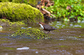 White-throated Dipper (Cinclus cinclus) with Caddisfly in beak. Dippers have a remarkable way to catch food in a niche area. They are able to dive under water readily at will and walk along the bottom in search of caddis fly larva and other food.