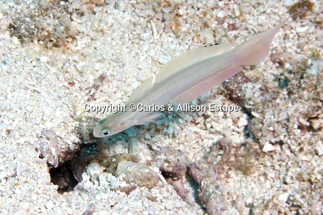 Ptereleotris calliura, Blue dartfish, Florida Keys