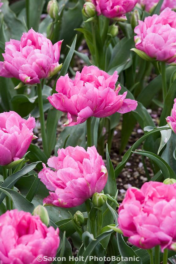 Pink flower Double Early Tulip (Tulipa ) 'Double Price' in garden; Tulip Festival, Skagit Valley Washington