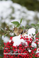 01640-16211 American Goldfinch (Carduelis tristis) in winter plumage in Nandina bush (Nandina domestica) Marion Co. IL
