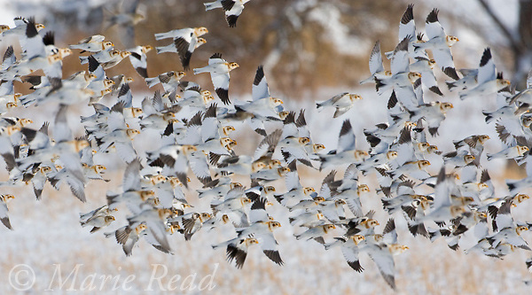 Snow Buntings (Plectrophenax nivalis) flock in flight over snow-covered field, Ithaca, New York, USA<br /> Cropped to panorama format.