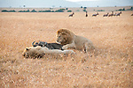 Two lions take down a wildebeest in Maasai Mara, Kenya.