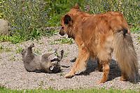 """Waschbär, verwaistes, pflegebedürftiges, in Menschenhand gepflegtes, zahmes Jungtier spielt mit Hund, Tierkind, Tierbaby, Tierbabies, Freundschaft zwischen Hund und Wildtier, Waschbaer, Wasch-Bär, Procyon lotor, Raccoon, Raton laveur, """"Frodo"""" und """"Laska"""""""