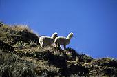 Altiplano, Peru. Vicuna on a hillside.