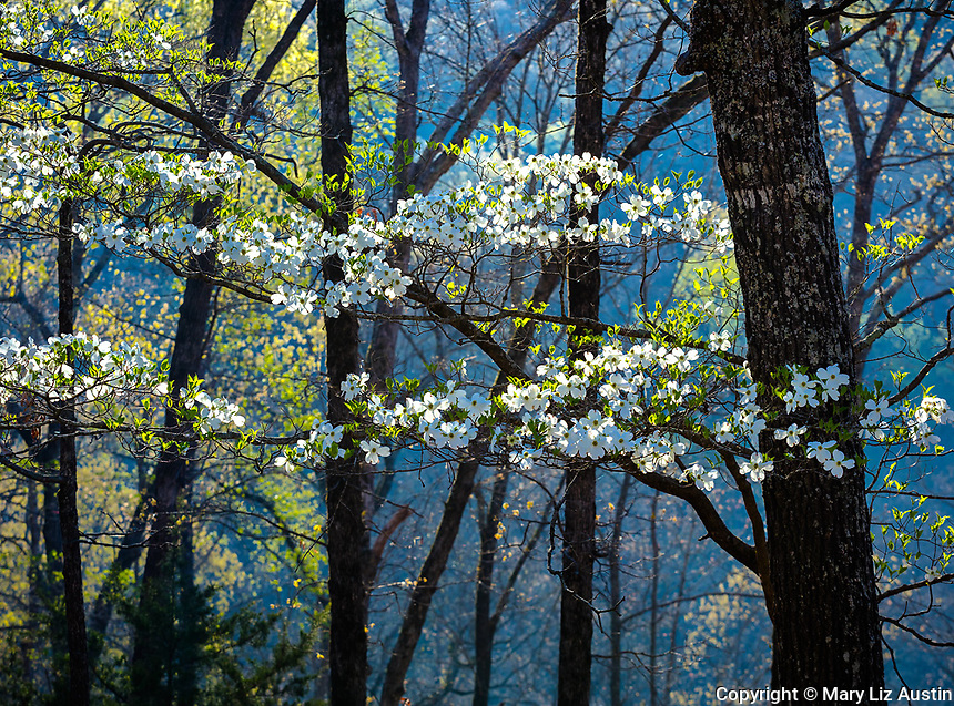Devil's Den State Park, AR: Backlit branches of a flowering dogwood in spring forest
