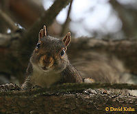 0625-06xx - Gray squirrel - Sciurus carolinensis - © David Kuhn/Dwight Kuhn Photography