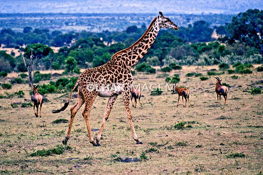 Girafa em savana africana. Quênia. 1995. Foto de João Caldas.