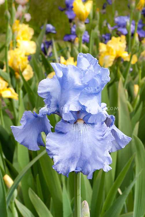 Iris 'Sea of Love' blue concolor, blue beard with yellow orange throat