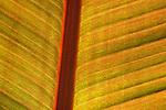 Backlit Banana Tree leaf reveals amazing colors and patterns. Photographed at Santa Barbara Zoological Gardens, Santa Barbara, CA.