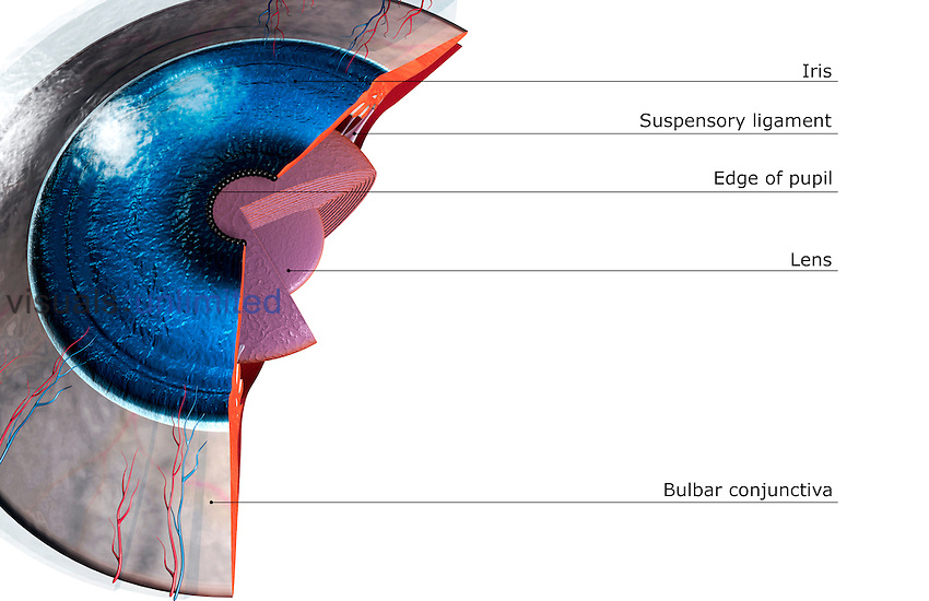 Sectional Anatomy Of The Eye Visuals Unlimited