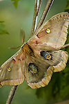 Polyphemus Giant Silkmoths