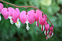 Pink bleeding heart blooms wet with raindrops hanging on stem