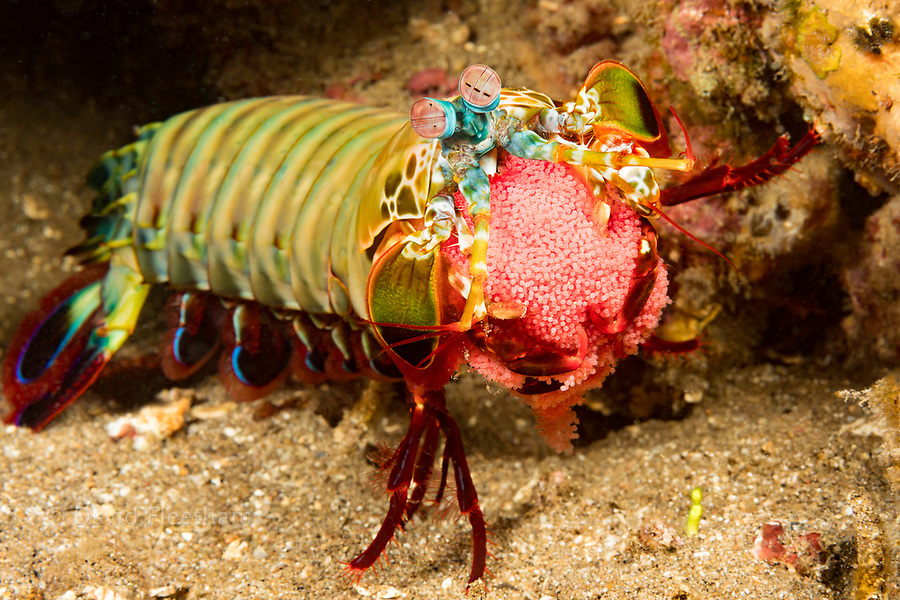 A peacock mantis shrimp, Odontodactylus scyllarus, carrying a bright red egg mass, Philippines.