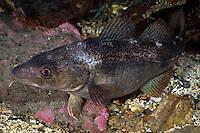 Cod, Gadus morhua, pregnant, Lofoten, Norway,