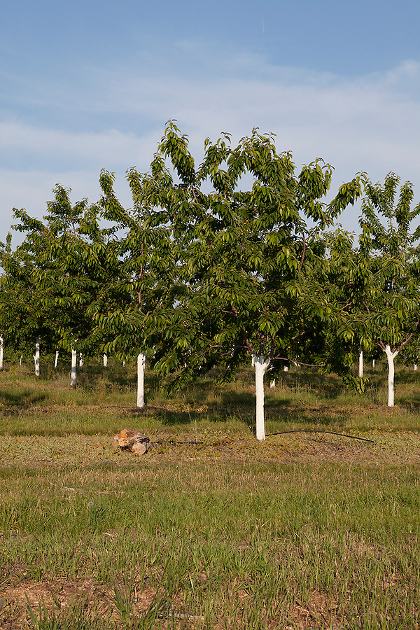 Cherry trees in the famous growing region of northern Michigan, Williamsburg, Michigan, near Traverse City
