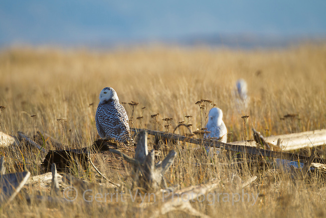 Snowy Owls (Bubo scandiacus) roosting on coastal driftwood. Grays Harbor County, Washington. December.