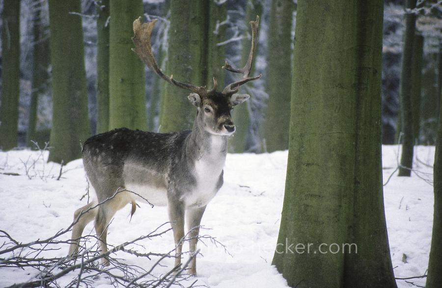 Damhirsch, Dam-Hirsch, Damwild, Hirsch, Männchen im Schnee, Dam-Wild, Cervus dama, Dama dama, fallow deer