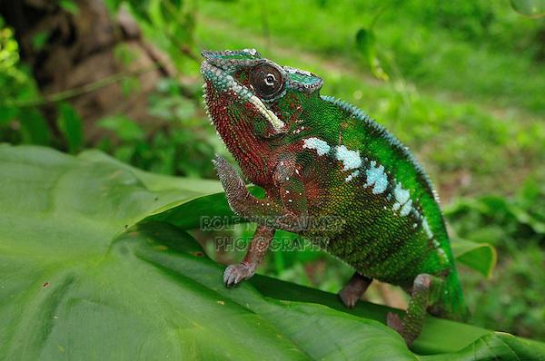 Panther Chameleon (Furcifer pardalis),male, Mananara, Eastern Madagascar