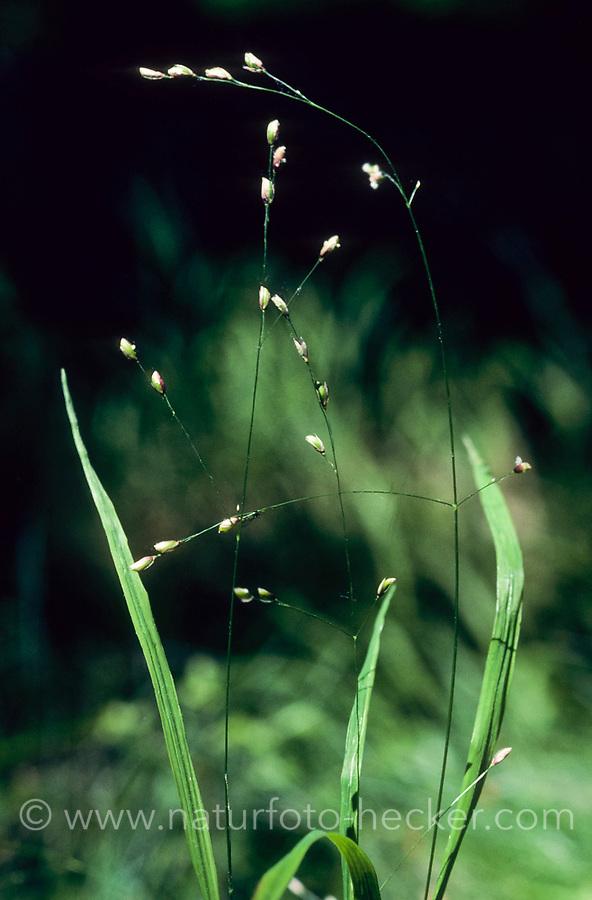 Einblütiges Perlgras, Melica uniflora, wood melick