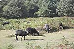 Hebridean sheep used for conservation grazing, Suffolk Sandlings heathland, Shottisham, Suffolk, England