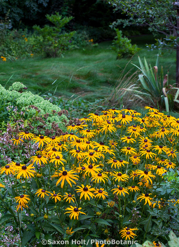Rudbeckia hirta - Black-eyed Susan, native perennial wildflower in Minnesota perennial border garden