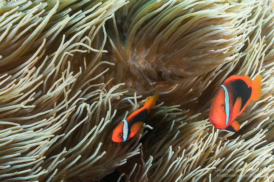 Puerto Galera, Oriental Mindoro, Philippines; a pair of red and black anemonefish living in a corkscrew tentacle anemone