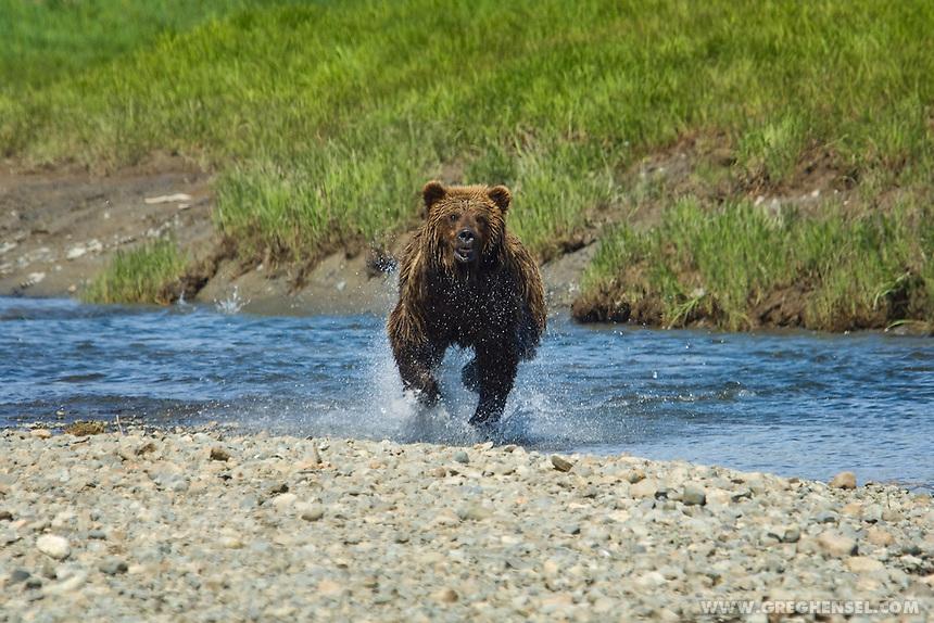 Brown Bear Boar charging through the water across Mikfik Creek at McNeil River Brown Bear Sanctuary. Summer in Southwest Alaska.