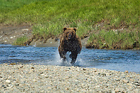 Brown Bear Boar charging through the water across Mikfik Creek at McNeil River Brown Bear Sanctuary. Summer in Southwest Alaska.