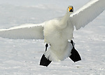 Whooper swan, Cygnus cygnus, adult coming in to land, in flight, flying, Kussharo-ko, Hokkaido Island, Japan, japanese, Asian, wilderness, wild, untamed, ornithology, snow, graceful, majestic, aquatic.Japan....