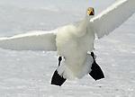Whooper swan, Cygnus cygnus, adult coming in to land, in flight, flying, Kussharo-ko, Hokkaido Island, Japan, japanese, Asian, wilderness, wild, untamed, ornithology, snow, graceful, majestic, aquatic.Japan....