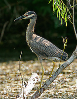 Adult yellow-crowned night-heron on willow tree