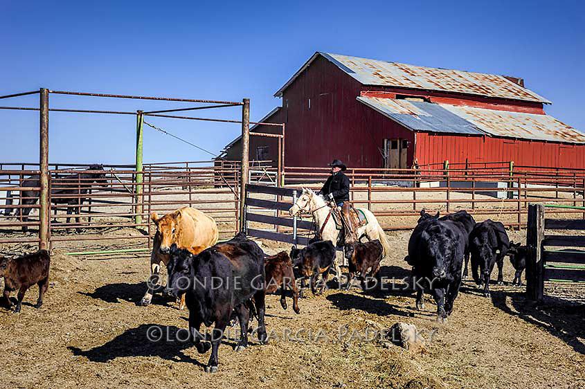 Cowboy sorting cattle at a roundup at the Spring Ranch at Shandon, California