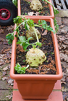 Apium graveolens var. rapaceum - Celeriac unusual vegetable growing in runner box container pots planter in winter