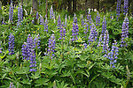 Wild Lupine flowers thrive in Montana's National Forests