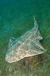 Common Angel Shark Squatina squatina. El Cabron Marine Park, Arinaga, Gran Canaria, Canary Islands, eastern Atlantic Ocean.