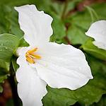 Showy Trillium (Trillium grandiflorum), Garden in the Woods, Framingham, MA, USA