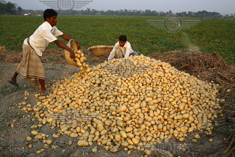 Harvesting potatoes. The potato is not rated as a staple food in the predominantly rice-eating Bangladesh but it may become so due to food shortages.